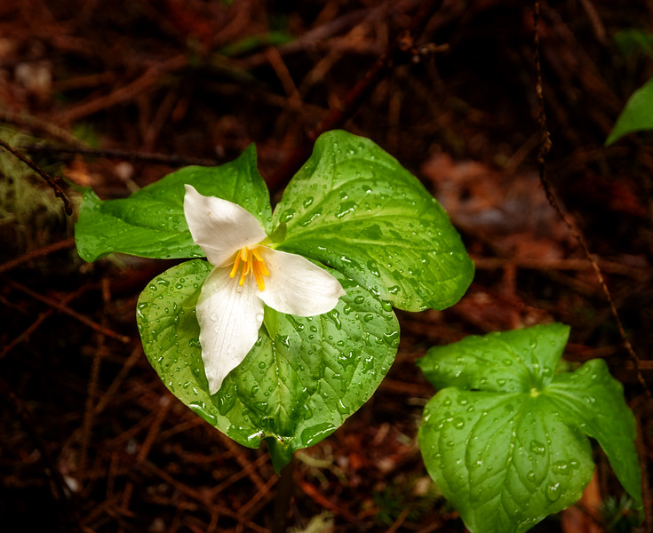 One the Oregon coast you can fin this Trillium ovatum flower