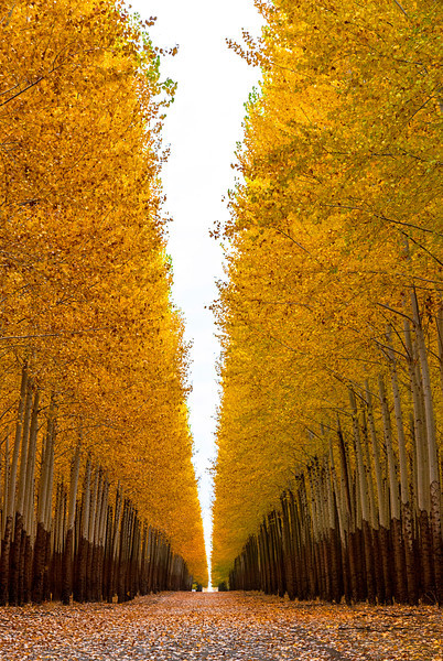 Bright yellow leaves on popular trees on a tree farm