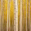Autumn Poplar farm forest