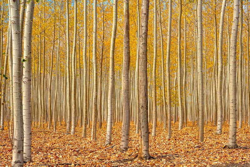 Tree Farm forest in Autumn