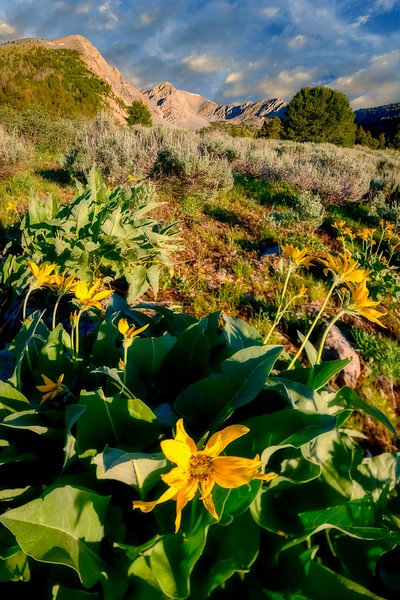 Blooming yellow flower at the base of a mountain peal at Double Springs Pass Idaho