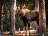 Bull Moose in the forest