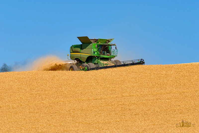 Wheat is being harvested by a combine