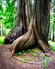 Base of old growth cedar trees on Moscow Mountain Idaho