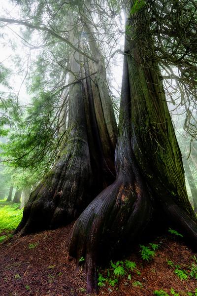 Large virgin cedar trees on a misty morning