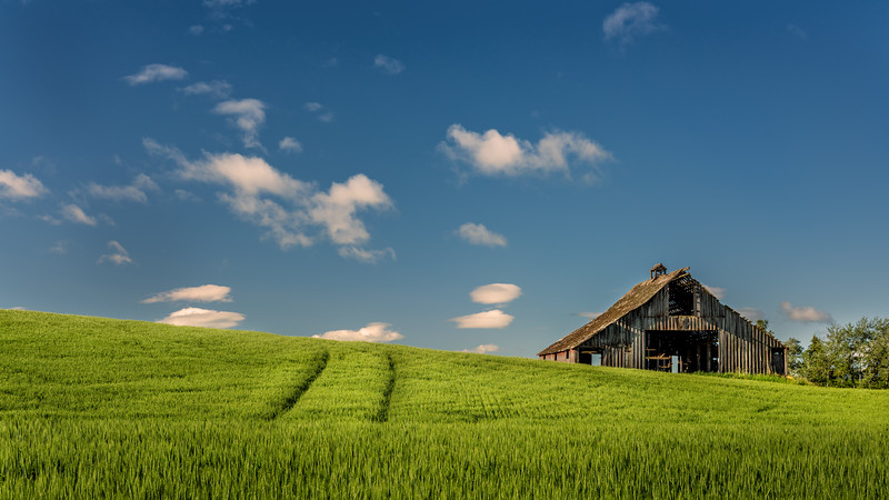 Palouse barn with tracks in the wheat