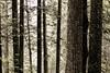 Deep Dark cedar forest with many trees