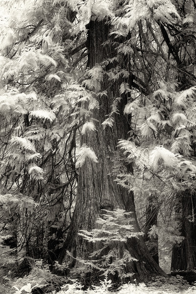 Old growth Cedar tree Infrared Black and White