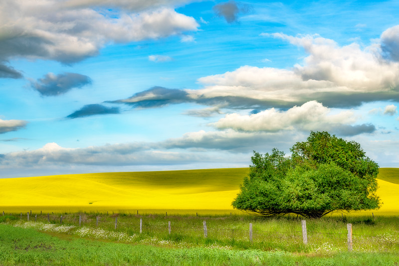 Bright yellow Canola field with single tree on a cloudy day