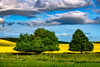 Farm Canola field of yellow with green trees and fence