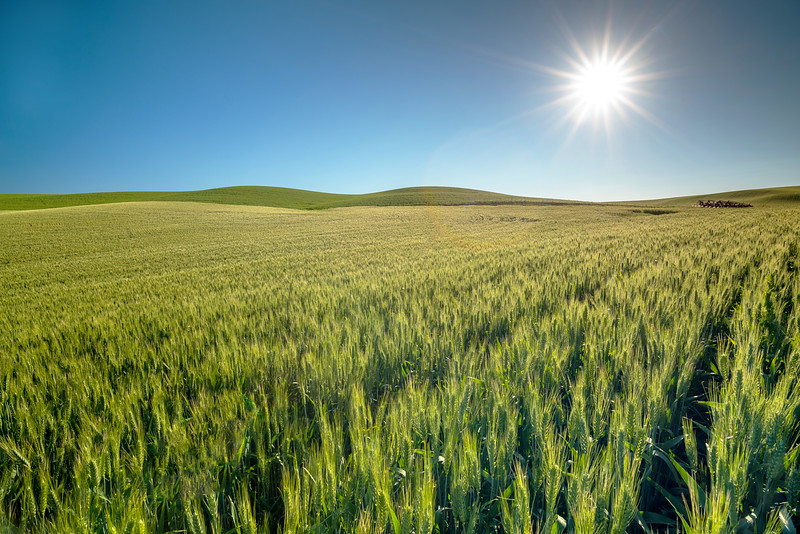 Green wheat field and blue sky with sun star