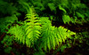 Green ferns on a dark forest floor