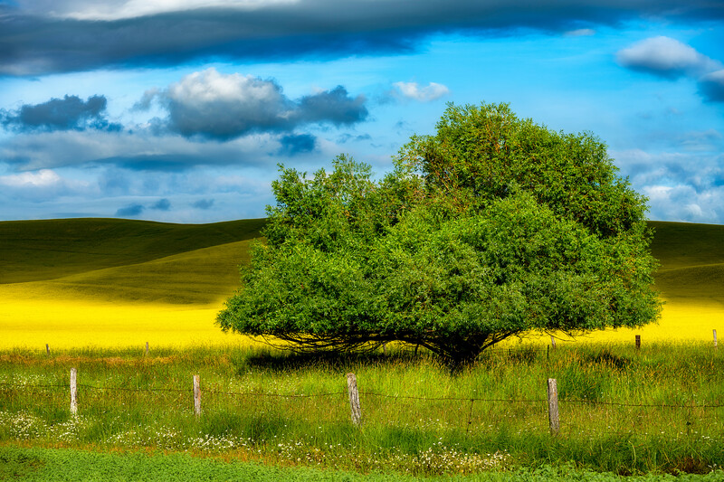 Clouds cast shadows across bright yellow Canola fields with tree