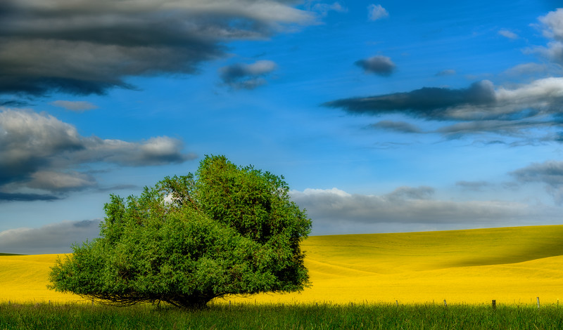 Green tree in a field of yellow Canola