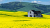Old Schoolhouse and Canola field Palouse