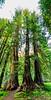Old growth Cedar trees sand tall on Moscow Mountain