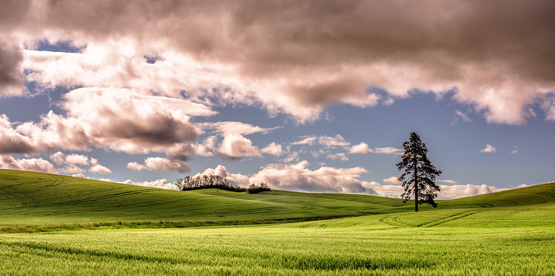 Dramatic sky over the wheat fields with a line pine