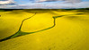 Drainage patter in a yellow field of Canola