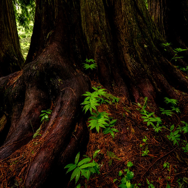 Small green plants grow at the base of a large Ceder tree on Moscow Mountain