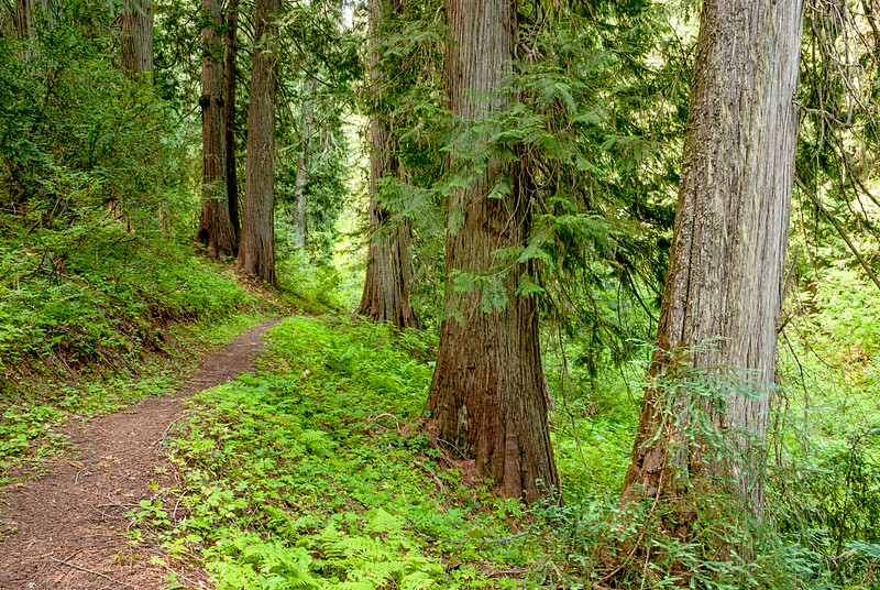 Trail leads through a Virgin Cedar Forest in Idaho