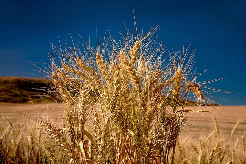 A bundel of wheat reaching for the sky