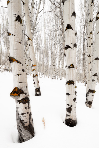 Aspen trees in snow with orange