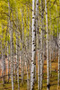 Fall Aspen forest with wet bark from rain
