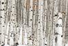 Fishhook stand of Aspen trees in winter