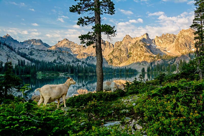 Pack goats at Alice Lake Idaho