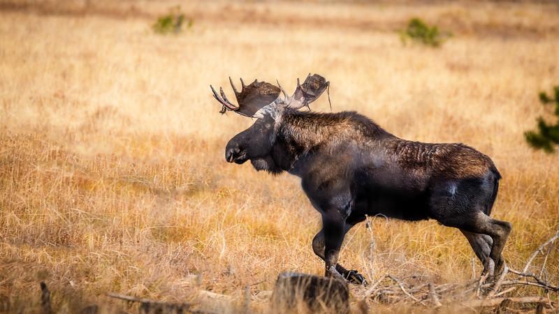 Bull moose trotting across an opening