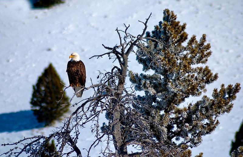 Bald Eagle--Salmon River--Stanley, Idaho