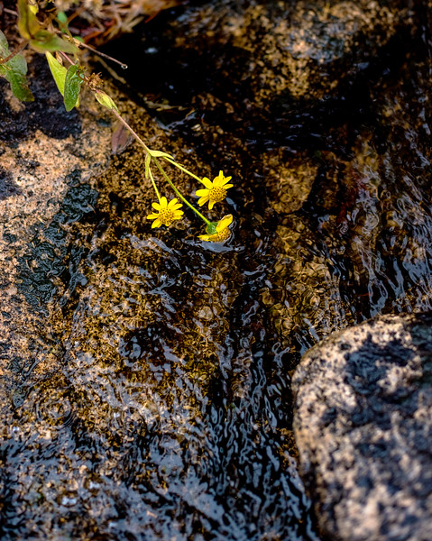 Yellow flowers dip in a creek in the Idaho mountains