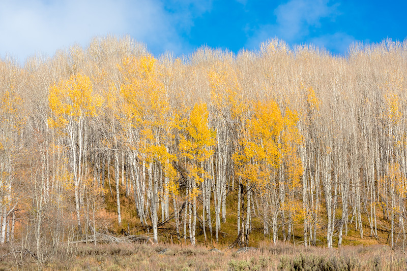 Only a few trees in Aspen grove with yellow leaves