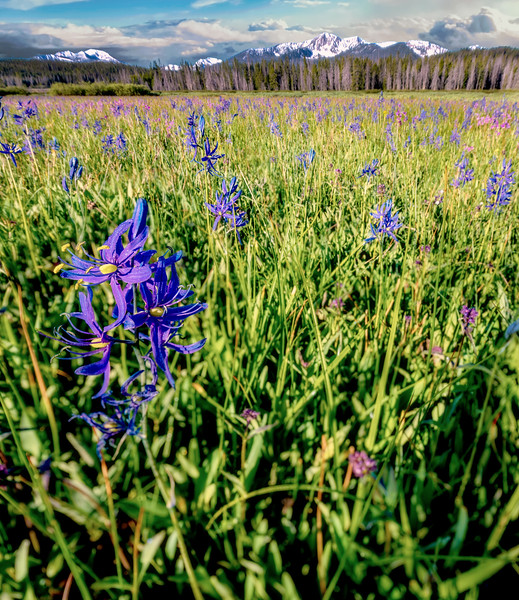 Blooming Camas in a meadow in the Sawtooth Valley of Idaho