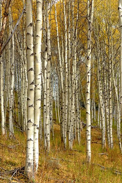 Aspen trees in yellow fall colors
