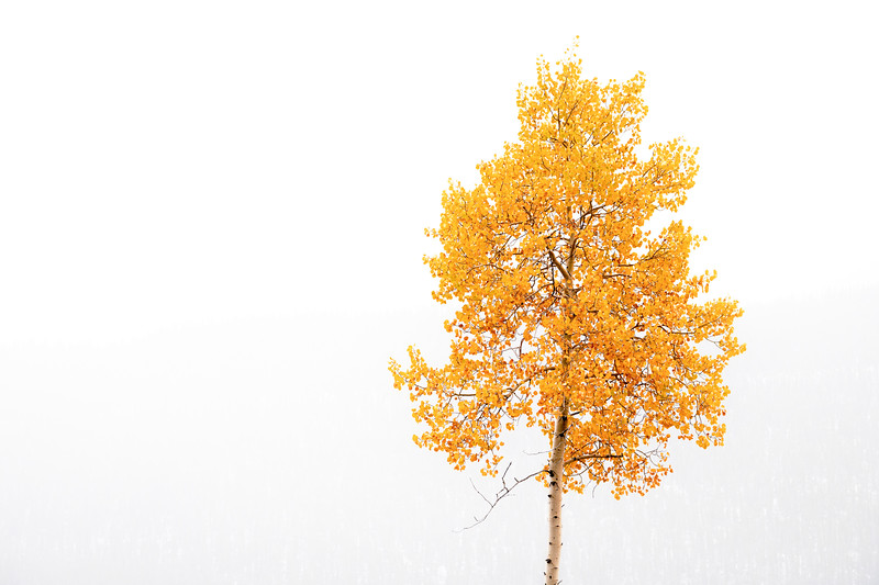 Lone Aspen tree with autumn colors in the fog