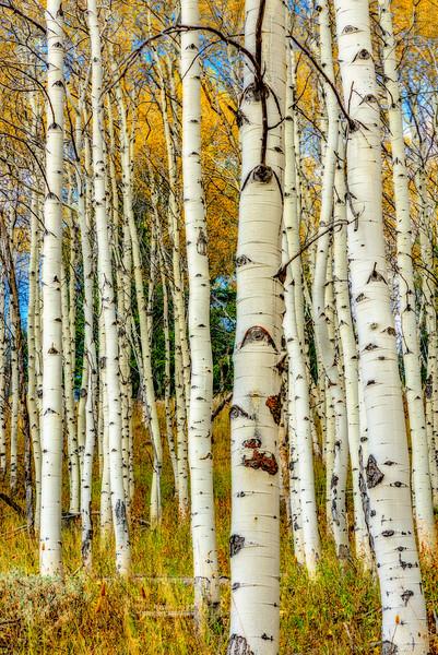 Aspen grove in the Sawtooth Mountains of Idaho