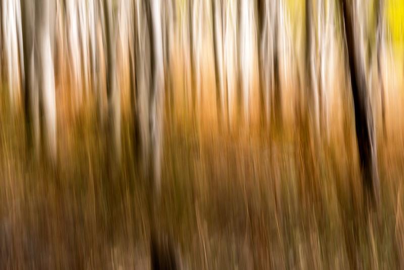 Aspen grove motion blur abstract