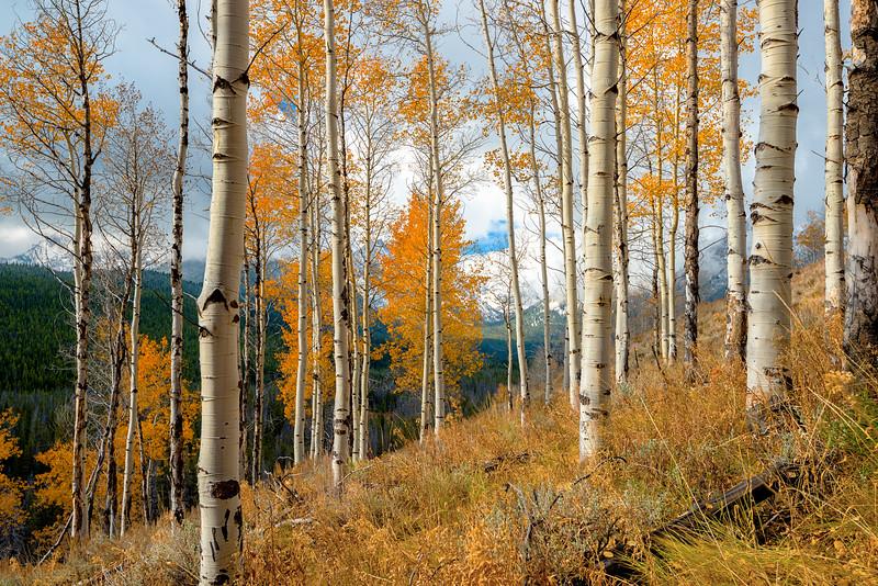 Autumn grove of Aspens in the wild Sawtooth Mountains of Idaho