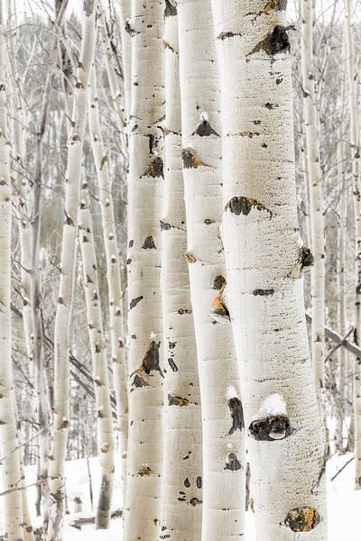 Row of Aspen trees in winter