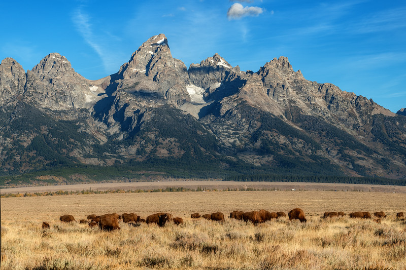 Group of wild Buffalo in front of the Tetons