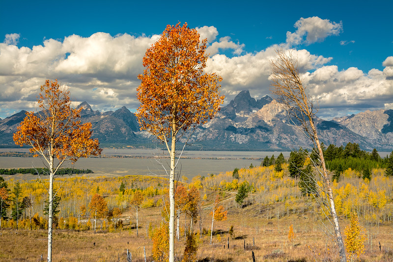 Fall Aspens and Teton mountain range