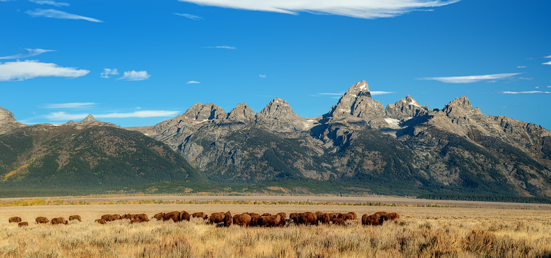 Herd of Buffalo graze on a prairie at the base of the Teton Range in Wyoming