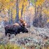 Majestic Moose in the rain