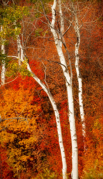 Close up of some white barked Aspen trees with red and yellow bushes
