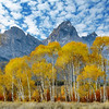 Tall Aspen trees before the Grand Teton Wyoming