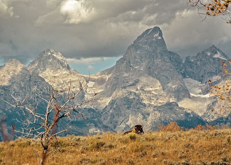 Buffalo resting before the Tetons