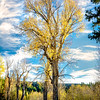 Lone Aspen tree along the Snake river Tetons