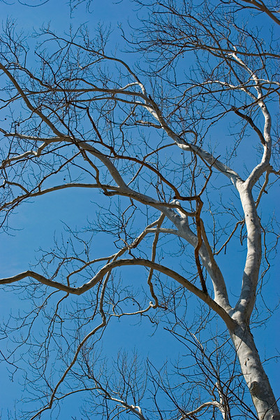 Sycamore tree on blue