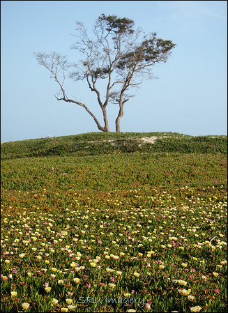 Lone Tree Carpinteria, CA.